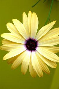 Blomst av gul, spansk margeritt