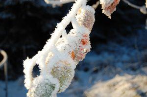 Gren med frost