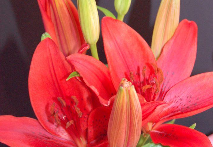 Blekrøde liljer