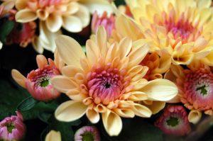 Krysantemum i delikat fersken