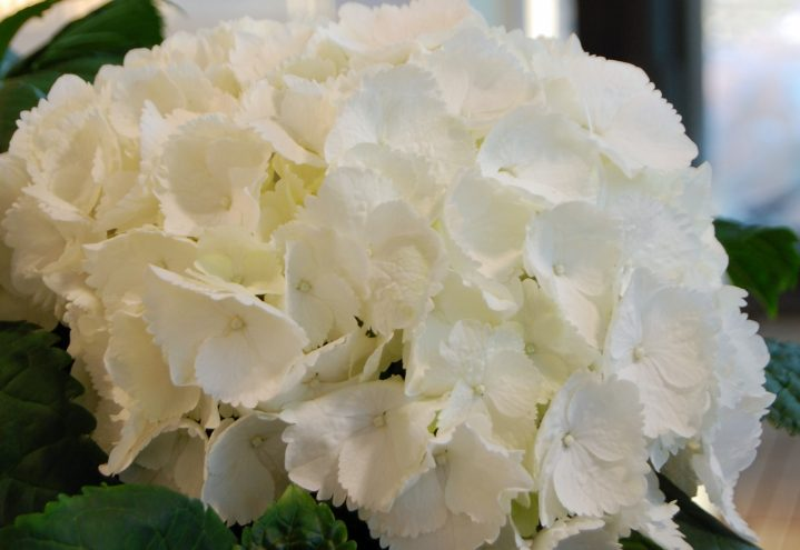 Hvit Hortensia