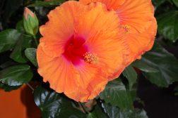Oransje hawaiirose til høsten