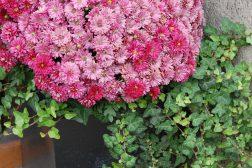 Kulekrysantemum og eføy til ettersommeren