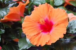 Intense farger hos Hibiscus