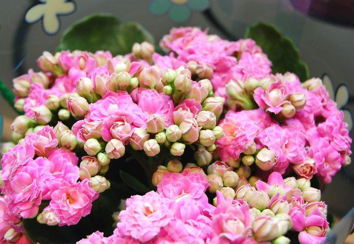 Nydelige blomster av ildtopp i rosa