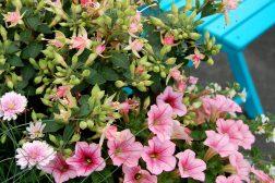 Fuchsia og petunia