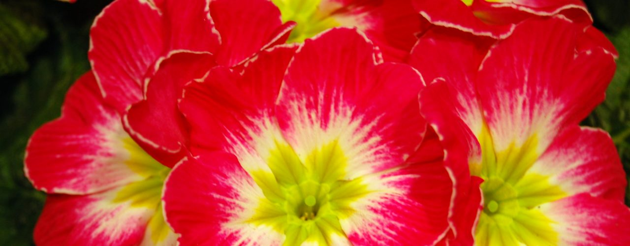 Primula nærbilde blomst
