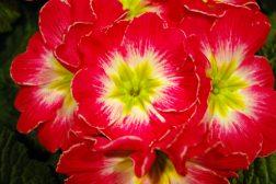5 gode grunner til å velge primula nå!