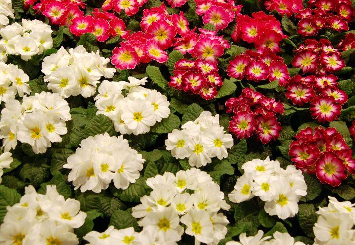 Primula kommer i mange varianter og farger