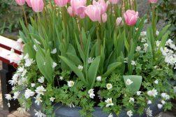 Anemone og tulipan