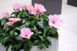 Rosa hawaiirose er flotte i store, lyse rom