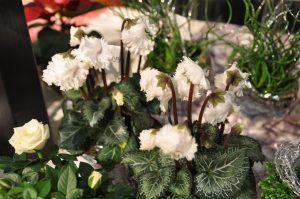 Frynsete blomster av Alpefiol