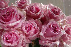 Roser i isblokk