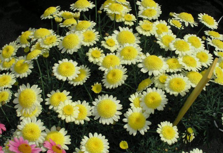 Sommerens gule margeritter