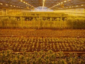 Dyrkning av liljer i bed i veksthus
