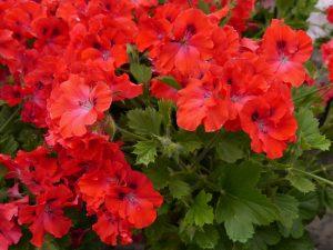 Flammende rød Engelsk Pelargonium