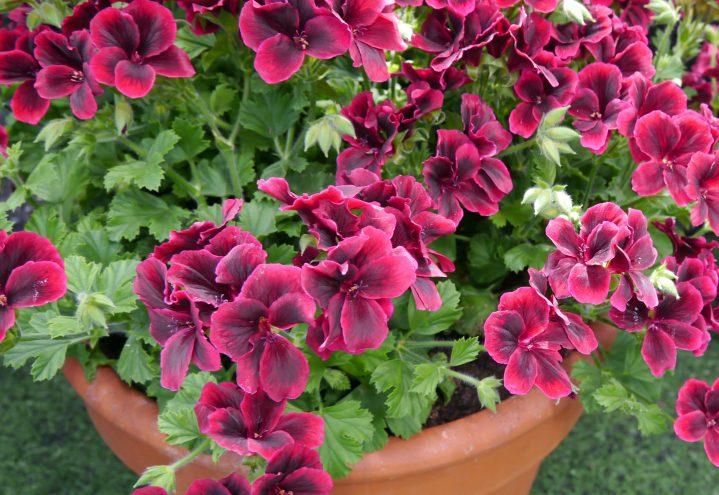 Engelsk Pelargonium i keramikkrukke