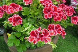 Lakserød Engelsk Pelargonium