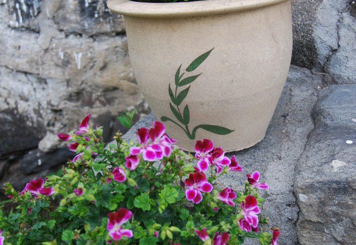 Engelsk pelargoniium i krukke på trappen; romantiske blomstervalg
