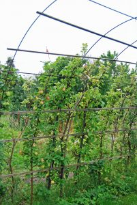 Epler i hagen kan også dyrkes på espalier