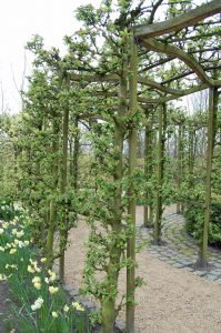 Epletrær i espalier som portal