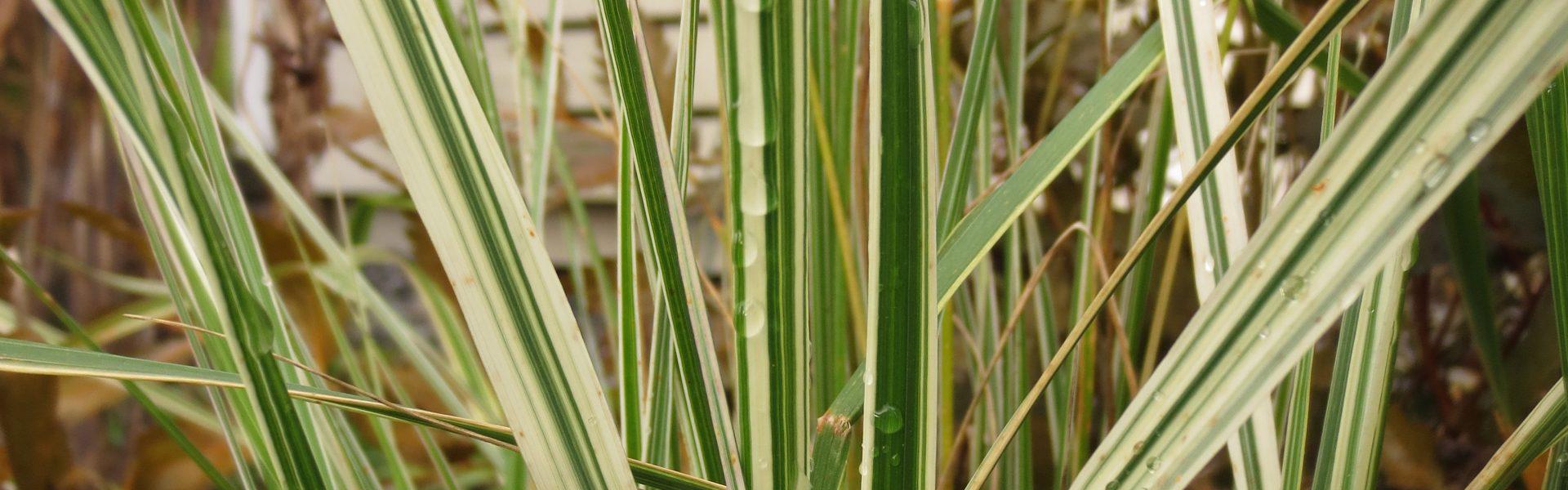 Fagerrørkvein, Calamgrostis 'Overdam'