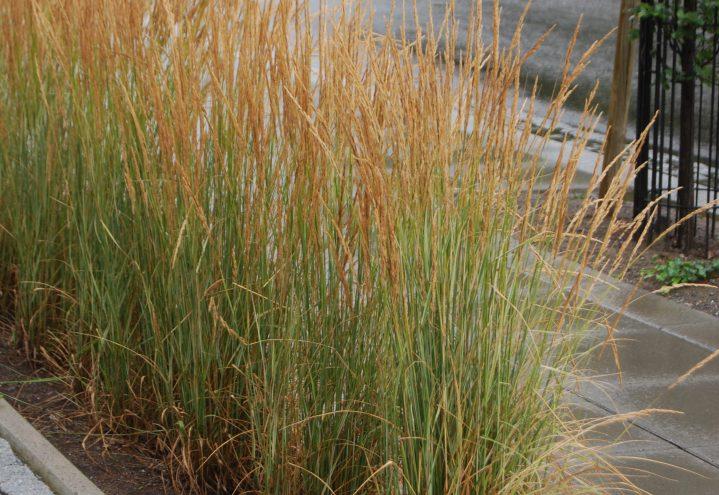 Fagerrørkvein, calamagrostis 'Overdam'