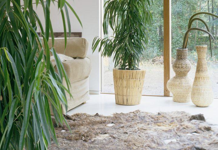 Ficus i interiør
