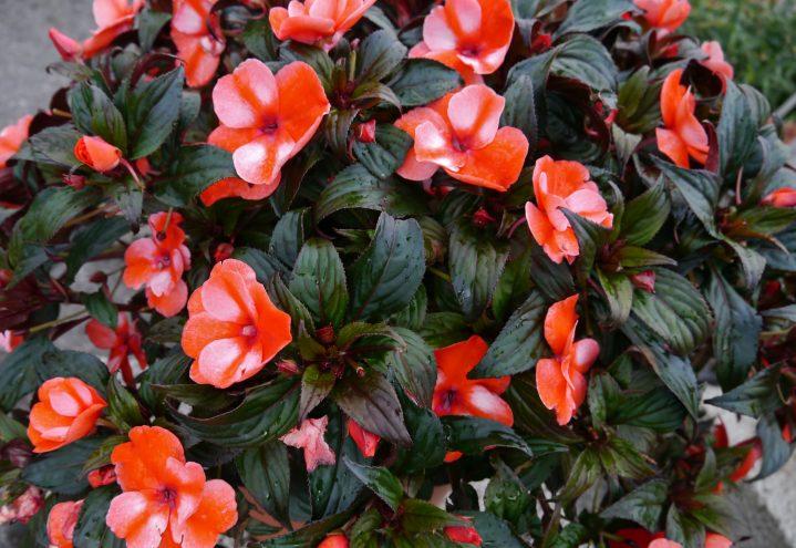 Flittiglise, Impatiens med rød-hvite blomster