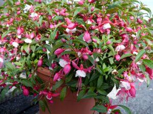 Fuchsia, eller Tåre i rosa og hvitt