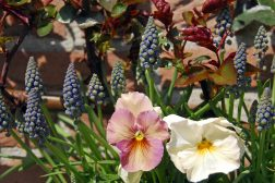 Plant busker, som roser, sammen med løkblomster og vårblomstrende planter