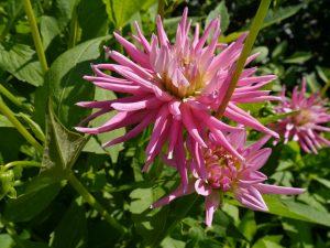 Georgine med stråleformede blomster