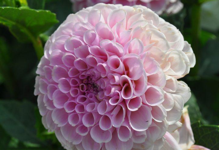 Georgine, Dahlia, fylt rosa