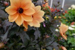 Georgine med mørke blader og oransje blomster