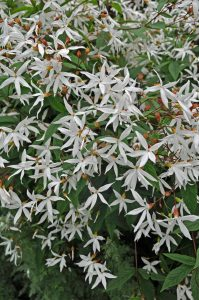 Gillenia trifoliata, trebladgillenia