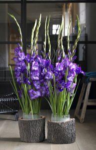 Gladioler i mørkeblått