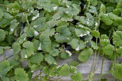 Gleuchoma – når man trenger en grønn sommer»blomst»