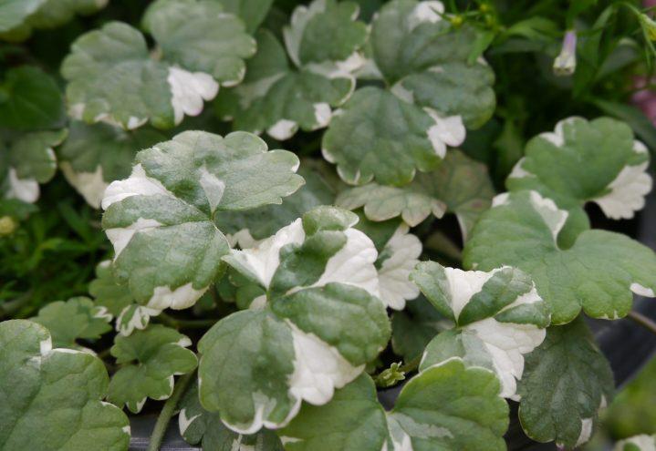 Gleuchoma er en bladplante for sommerplantingene