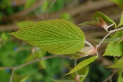 Grønne nye blader