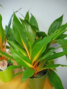 En ganske spesiell grønnrenne, Chlorophytum