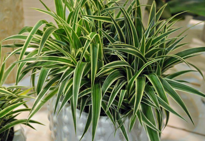 Grønnrenner, Chlorophytum comosum