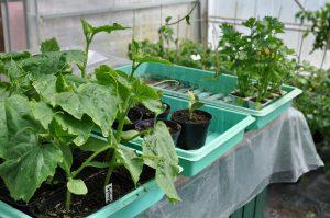 Grønnsaksplanter klar for utplanting i veksthus og kjøkkenhage