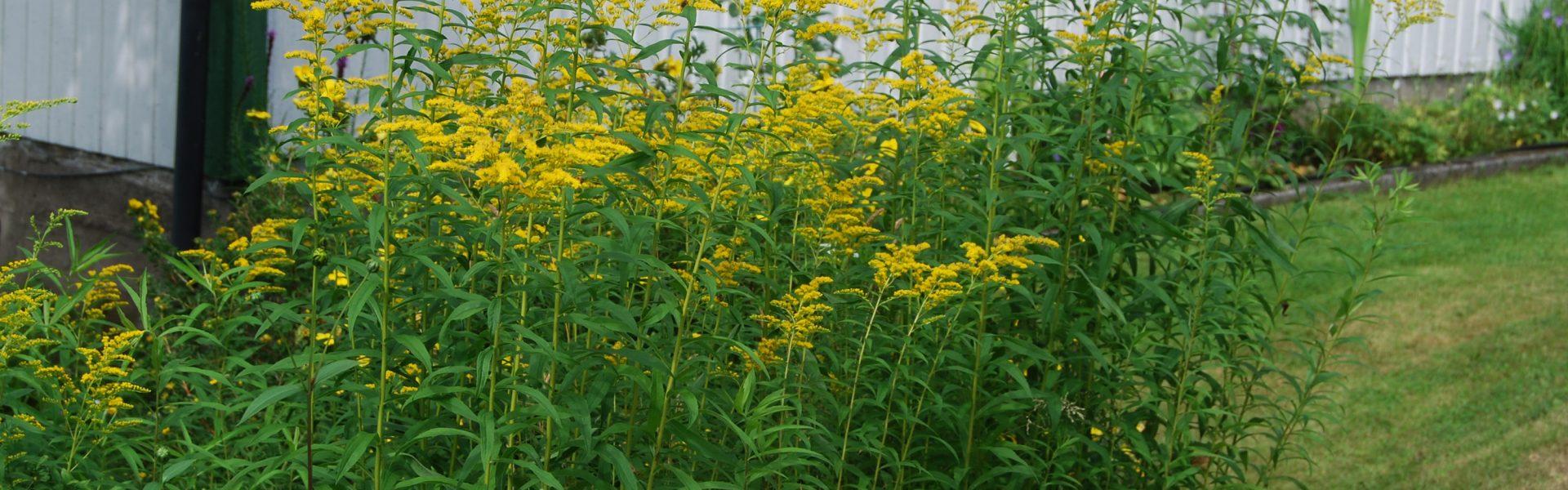 Svartelistede planter – en oppklaring