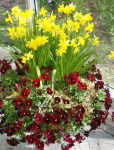 Vårkrukke med stemor og påskeliljer