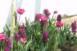Koselig løkbed i lilla