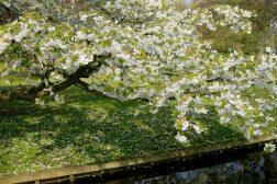 Kirsebærblomstring over vannspeil