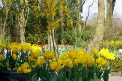 Gul vårblomstring med Forsythia, stemor og påskeliljer
