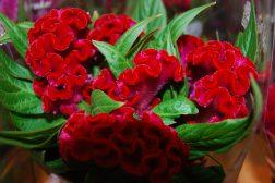 Hanekam, eller Celosia er en praktfull og fremmedartet blomst