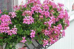 Vakre slyngpelargonia i blomsterkassene
