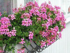 Vakre rosa slyngpelargonia i blomsterkassene